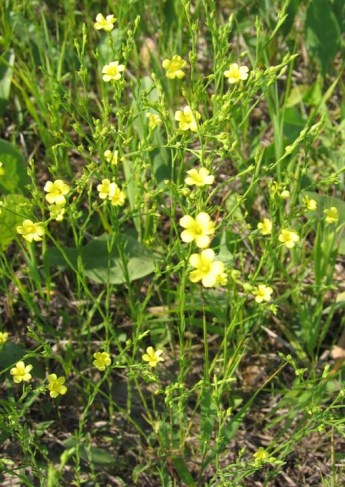 Narrow-Leaved Puccoon