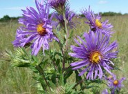 New England Aster-2