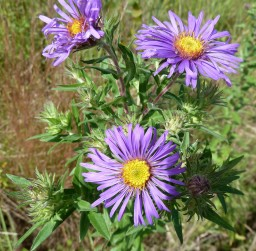 New England Aster-3