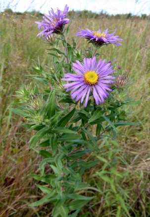New England Aster-4