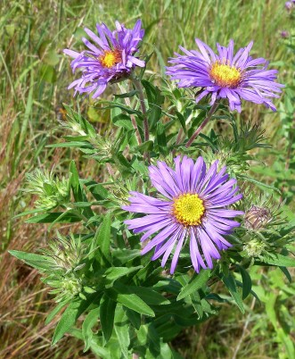 New England Aster-5