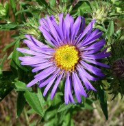 New England Aster-6