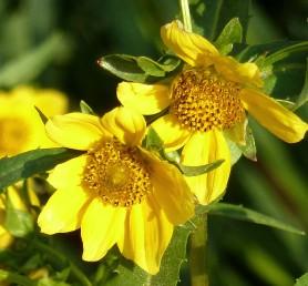 Nodding Bur Marigold-10