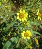 Nodding Bur Marigold-11