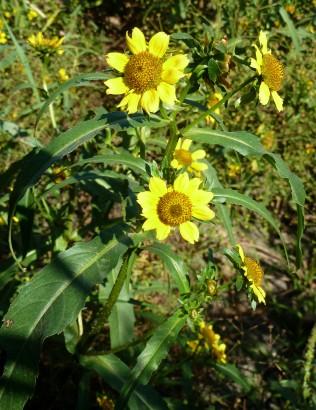 Nodding Bur Marigold-12