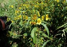 Nodding Bur Marigold-13