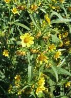 Nodding Bur Marigold-14