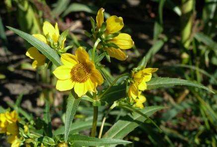 Nodding Bur Marigold-2