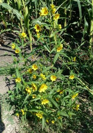 Nodding Bur Marigold-4