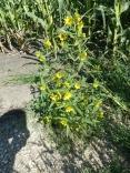 Nodding Bur Marigold-5