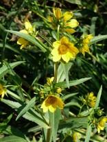 Nodding Bur Marigold-6