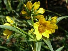 Nodding Bur Marigold-7