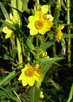 Nodding Bur Marigold-8