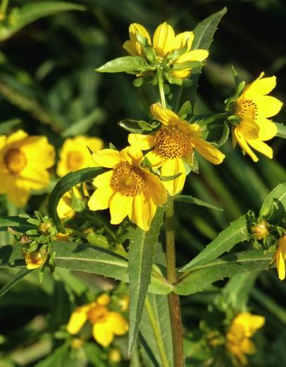 Nodding Bur Marigold-9