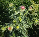 Nodding Thistle - 2