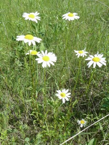 Ox-eye Daisy-2 (2)