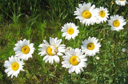 Ox-eye Daisy (2)