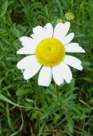 Ox-eye Daisy-2