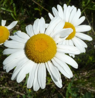 Ox-eye Daisy-3 (2)