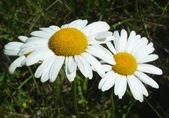 Ox-eye Daisy-4 (2)