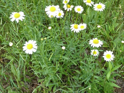 Ox-eye Daisy-4