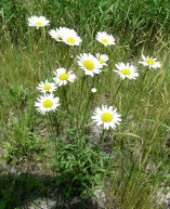 Ox-eye Daisy-5