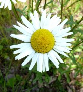 Ox-eye Daisy-6