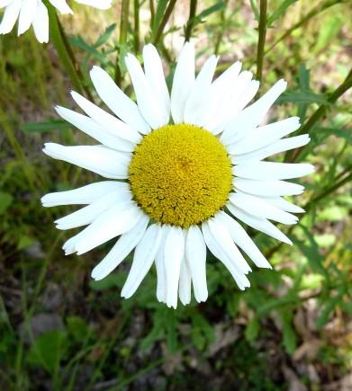Ox-eye Daisy-6