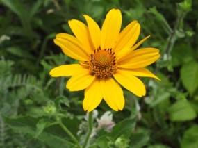 Ox-eye (False Sunflower)