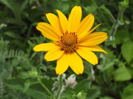 Ox-eye (False Sunflower)