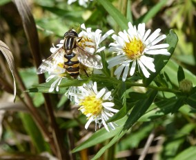Panicled Aster-2