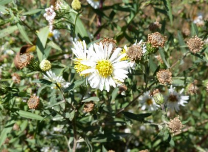 Panicled Aster-3