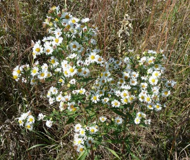 Panicled Aster-4