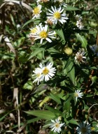Panicled Aster-5