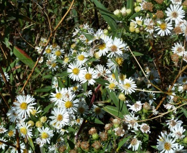 Panicled Aster-6