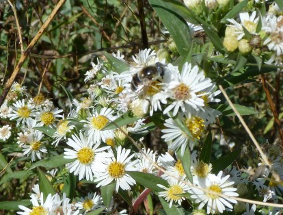Panicled Aster-7