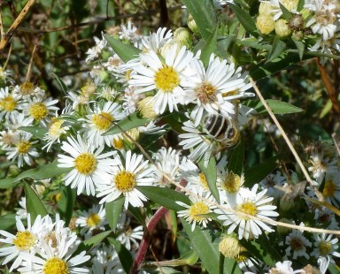 Panicled Aster-8