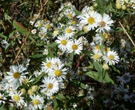 Panicled Aster-9