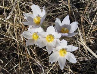Pasque Flower (2)