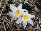 Pasque Flower 2