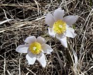 Pasque Flower-2