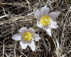 Pasque Flower-2