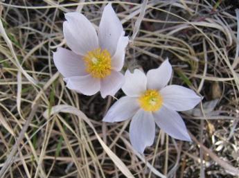 Pasque Flower 3