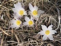 Pasque Flower 4