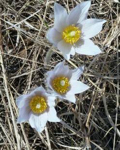 Pasque Flower-4