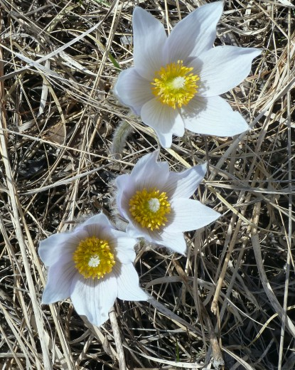 Pasque Flower-4