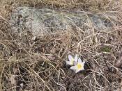 Pasque Flower 5