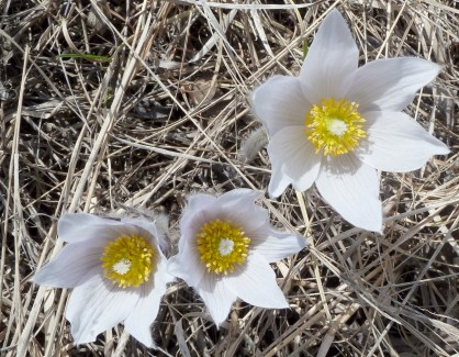 Pasque Flower-5
