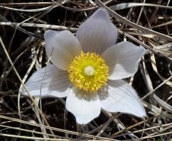 Pasque Flower-6