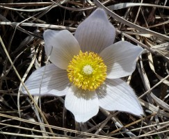 Pasque Flower-6